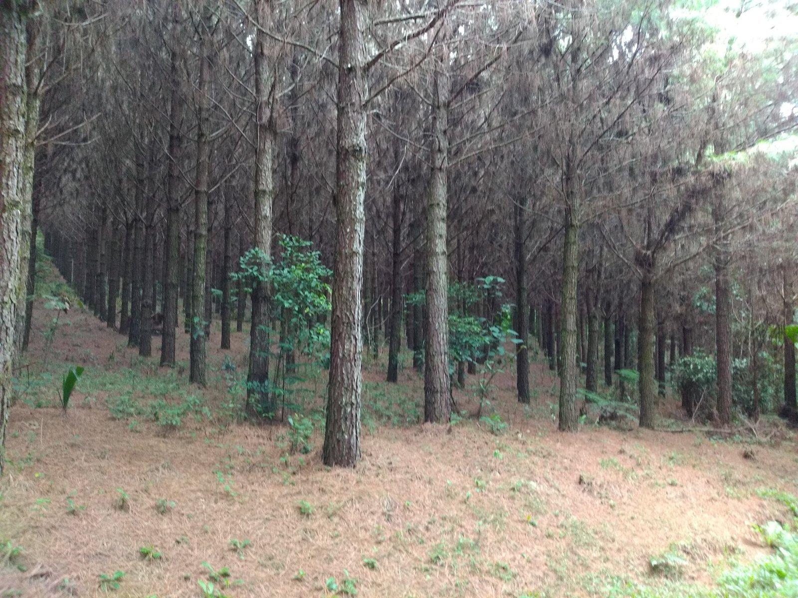 Imagem doFazenda - Sertãozinho com reflorestamento de Pinus- São Bento do Sul
